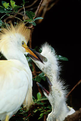 Cattle Egret Photograph - Usa, Florida Cattle Egret Feeds One by Jaynes Gallery