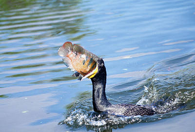 Swallow Photograph - Usa, Florida Cormorant Swallowing by Jaynes Gallery