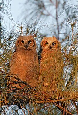 Owlets Photograph - Usa, Florida, De Soto by Jaynes Gallery