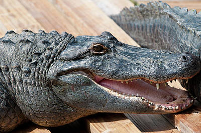Alligator Photograph - Usa, Florida Gatorland, Florida by Michael Defreitas