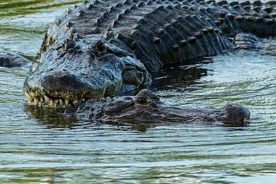 Animal Behavior Photograph - Usa, Florida, Gatorland by Jaynes Gallery