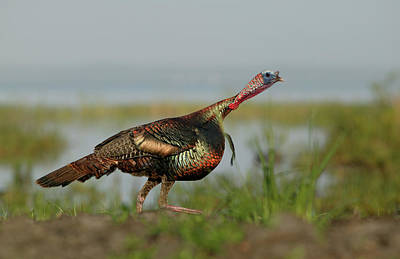 Wild Turkey Photograph - Usa, Florida, Indian Lake Estates by Jaynes Gallery