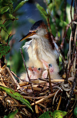 Williams Photograph - Usa, Florida Least Bittern Parent by Jaynes Gallery