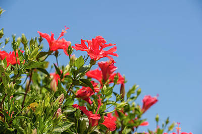 Usa, Florida, New Smyrna Beach, Hibiscus Art Print