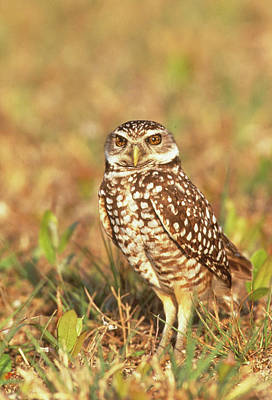 Burrowing Owl Photograph - Usa, Florida, Pompano Beach by Jaynes Gallery