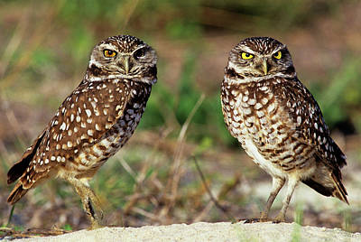 Burrowing Owl Photograph - Usa, Florida, Sanibel Island by Jaynes Gallery