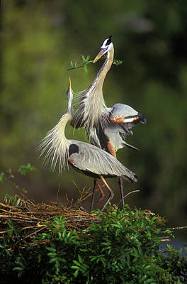 Courtship Photograph - Usa, Florida, South Venice by Jaynes Gallery