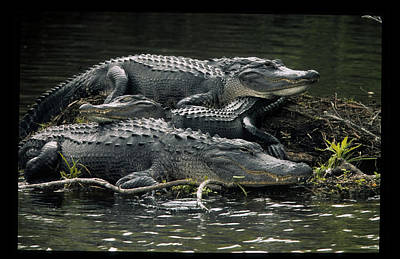 Gallery Three Photograph - Usa, Florida Three Alligators Rest by Jaynes Gallery