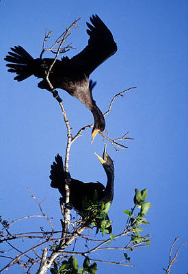 Double-crested Cormorant Photograph - Usa, Florida Two Double-crested by Jaynes Gallery