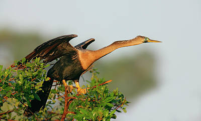 Anhinga Wall Art - Photograph - Usa, Florida, Venice by Jaynes Gallery