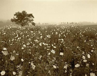 Large Format Photograph - Usa, Kentucky, Union, Field Of Cosmos by Adam Jones