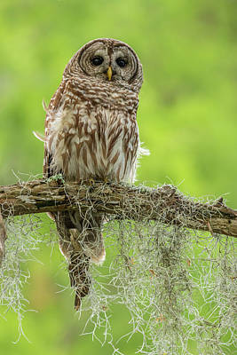 Barred Owl Photograph - Usa, Louisiana Barred Owl On Tree Limb by Jaynes Gallery