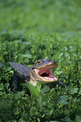 American Alligator Photograph - Usa, Louisiana, Sabine National by Jaynes Gallery