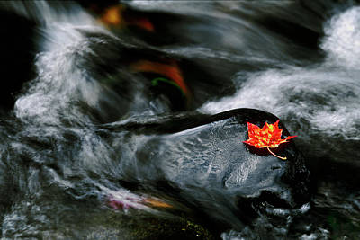 Black Rock Yellow Leaves Water Photograph - Usa, Maine Maple Leaf On Black Rock by Jaynes Gallery