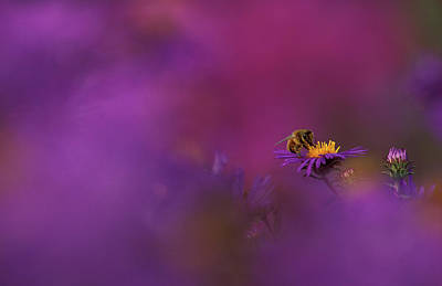 Usa, Michigan, Honeybee Pollinating New Art Print