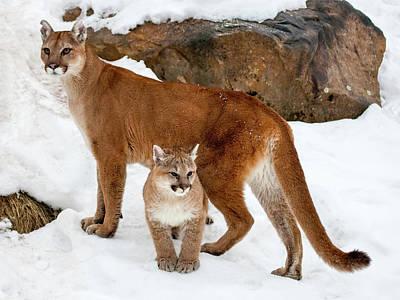 Puma Photograph - Usa, Minnesota, Sandstone, Cougars by Hollice Looney