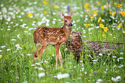 Whitetail Fawn Photograph - Usa, Minnesota, Sandstone, Fawn Amongst by Hollice Looney
