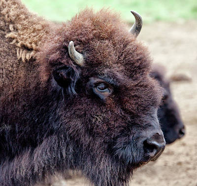 Bison Photograph - Usa, Montana, Moiese by Jaynes Gallery