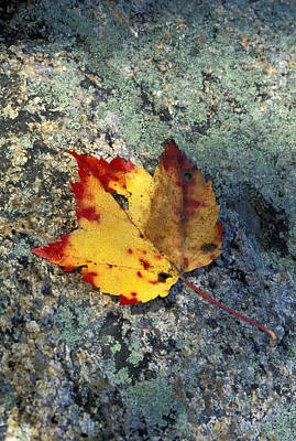 Usa, New Hampshire, Maple Leaf On Art Print by Chris Coe