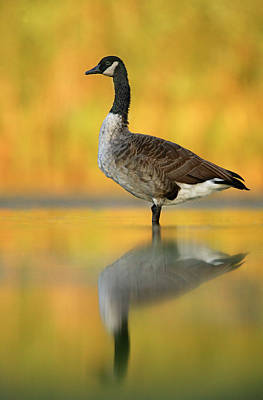 Canada Goose Photograph - Usa, New York, New York City, Queens by Jaynes Gallery