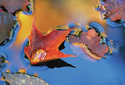 Usa, Northeast, Maple Leaf Print by Jaynes Gallery
