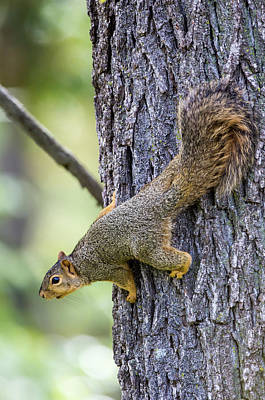 Fox Squirrel Photograph - Usa, Ogle County, Illinois, Eastern Fox by Elizabeth Boehm