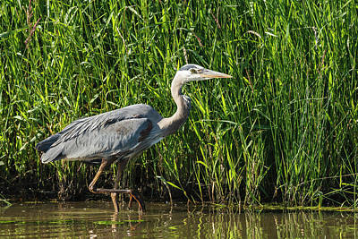 Heron Photograph - Usa, Oregon, Baskett Slough National by Rick A Brown