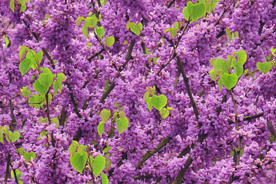 Redbud Photograph - Usa, Oregon Blossoms And New Growth by Jaynes Gallery