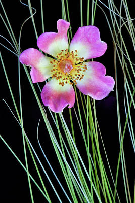 Carter Photograph - Usa, Oregon Close-up Of Anemone Flower by Jaynes Gallery
