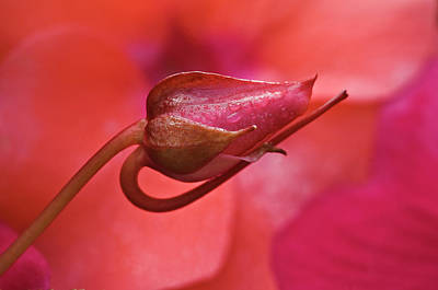 Usa, Oregon Close-up Of Ose Bud Art Print by Jaynes Gallery