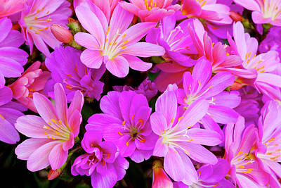 Carter Photograph - Usa, Oregon Columbian Lewisia Flowers by Jaynes Gallery