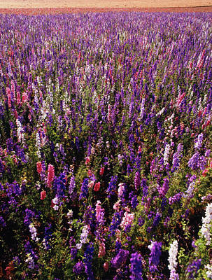 Delphinium Photograph - Usa, Oregon, Delphinium Field by Stuart Westmorland