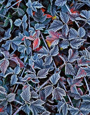 Blackberries Wall Art - Photograph - Usa, Oregon Frost On Wild Blackberry by Jaynes Gallery