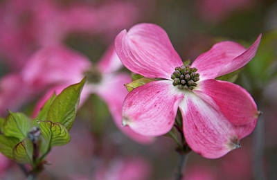 Carter Photograph - Usa, Oregon Pink Dogwood Blossom by Jaynes Gallery