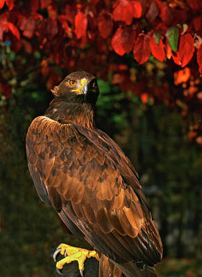 Accipitridae Photograph - Usa, Oregon Portrait Of Red-tailed Hawk by Jaynes Gallery