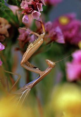 Praying Mantis Photograph - Usa, Oregon Praying Mantis On Static by Jaynes Gallery