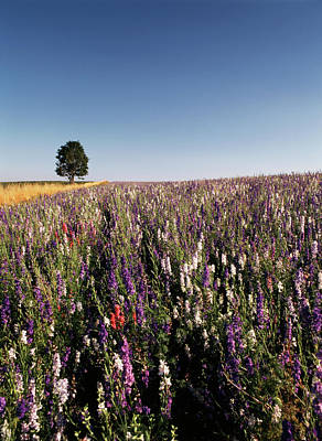 Willamette Valley Photograph - Usa, Oregon, Single Tree In Delphiniums by Stuart Westmorland
