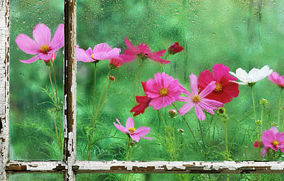 Usa, Pennsylvania, Cosmos In Rainy Art Print by Jaynes Gallery