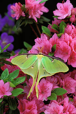 Usa, Pennsylvania, Luna Moth On Pink Art Print by Jaynes Gallery