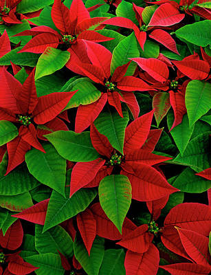 Yule Photograph - Usa, Red Poinsettia Flowers With Green by Jaynes Gallery