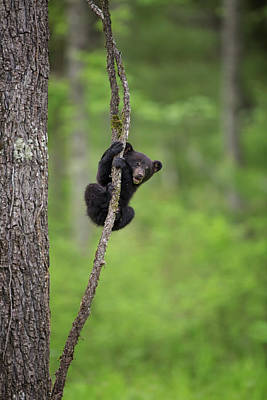Black Bear Cubs Photograph - Usa, Tennessee Black Bear Cub Playing by Jaynes Gallery