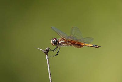 Yellow Dragonfly Photograph - Usa, Texas, Austin by Jaynes Gallery