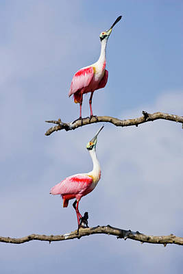 Roseate Spoonbill Photograph - Usa, Texas, High Island, High Island by Jaynes Gallery