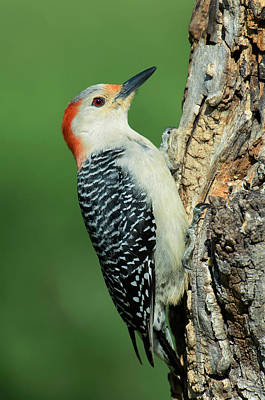 Red Bellied Woodpecker Photograph - Usa, Texas, Lipscomb by Jaynes Gallery