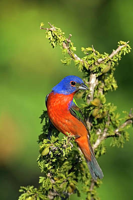Painted Bunting Photograph - Usa, Texas, Tilden by Jaynes Gallery