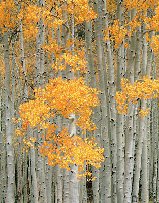 Usa, Utah, Aspen Grove (populus Art Print