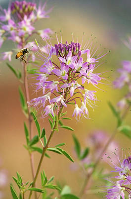 Cleome Photograph - Usa, Utah Honey Bee Landing On Mountain by Jaynes Gallery