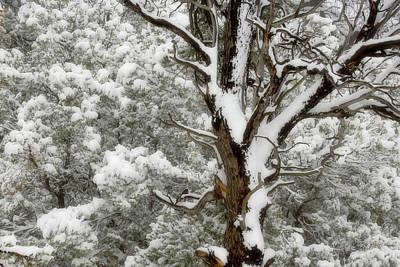Usa, Utah Juniper And Pine Trees Art Print