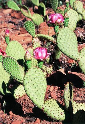 Zion National Park Photograph - Usa, Utah, Zion National Park, Cactus by Paul Souders