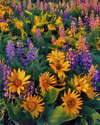 Large Format Photograph - Usa, Washington Balsamroot And Lupine by Jaynes Gallery